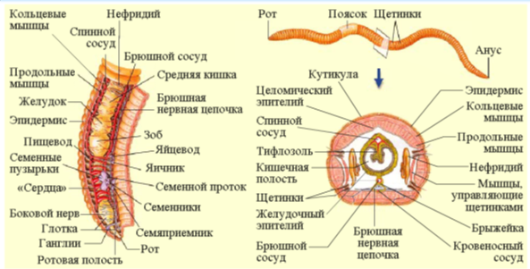 invertebrates adaptation morphology anatomy and life