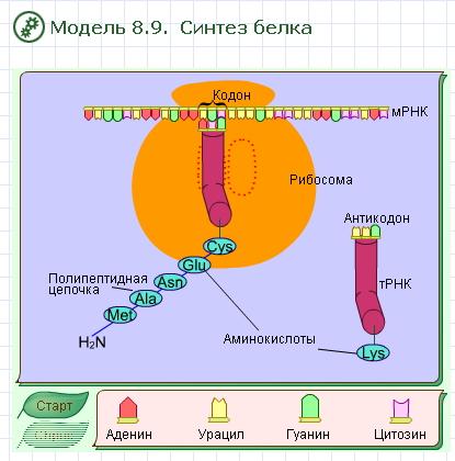 Нуклеиновые кислоты. Атф